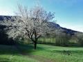 Blühender Kirschbaum