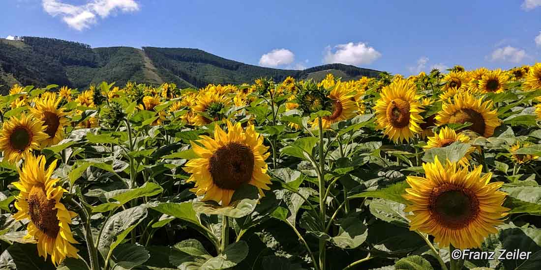 09.07.018.h.sonnenblumen.11-2
