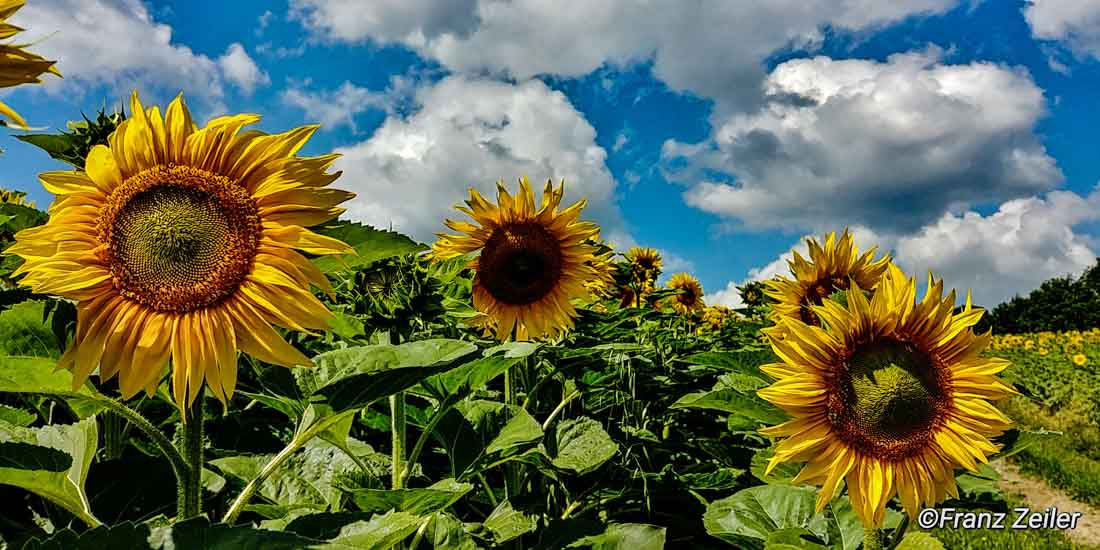 09.07.018.h.sonnenblumen.13-2