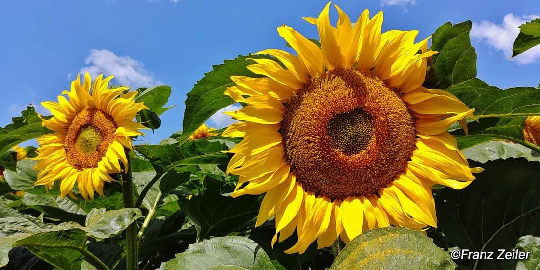 09.07.018.h.sonnenblumen.14-2