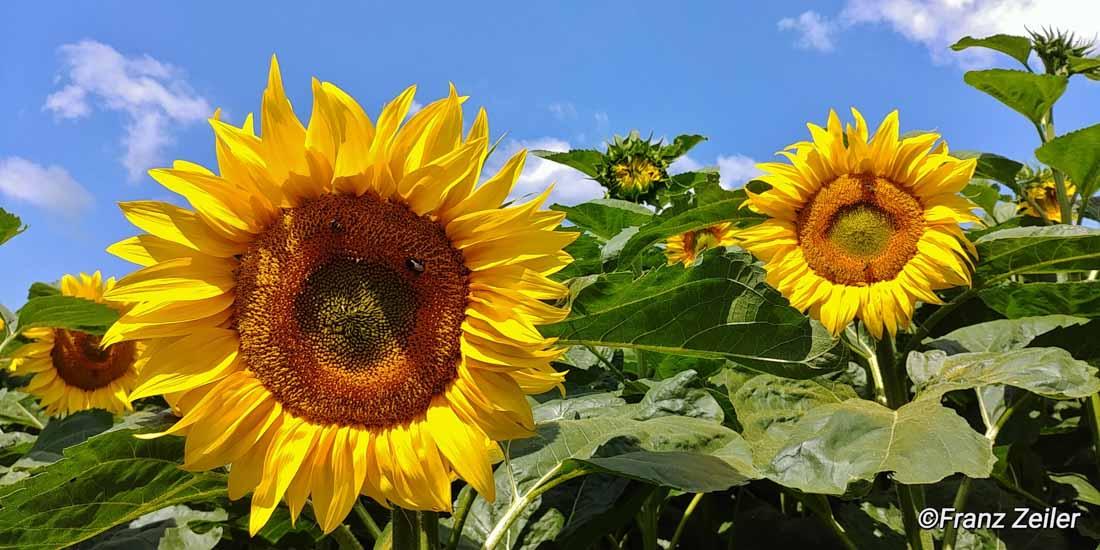 09.07.018.h.sonnenblumen.15-2